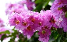 Stt Tháng 5 về những bông hoa bằng lăng tím một góc trời mang bao nỗi niềm yêu thương hoài niệm