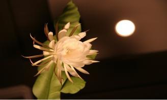 Cảm nhận những Stt về hoa Quỳnh, loài hoa lặng lẽ và thanh khiết nhất thế gian